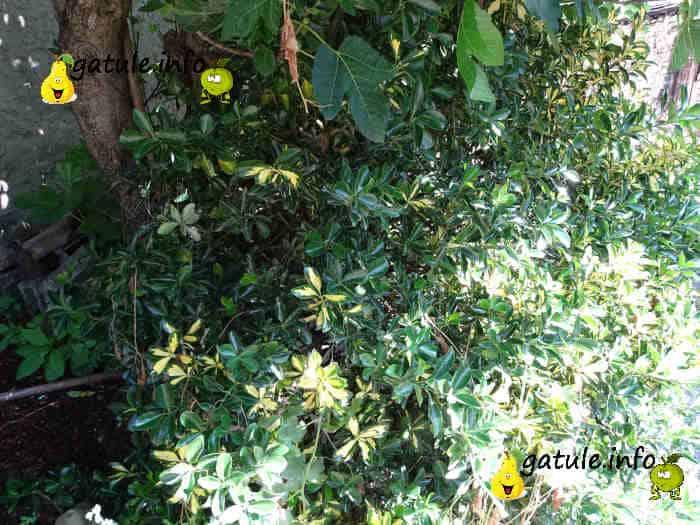 propiedades árbol boj o buxus sempervirens