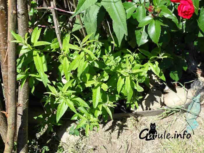 propiedades aloysia citrodora