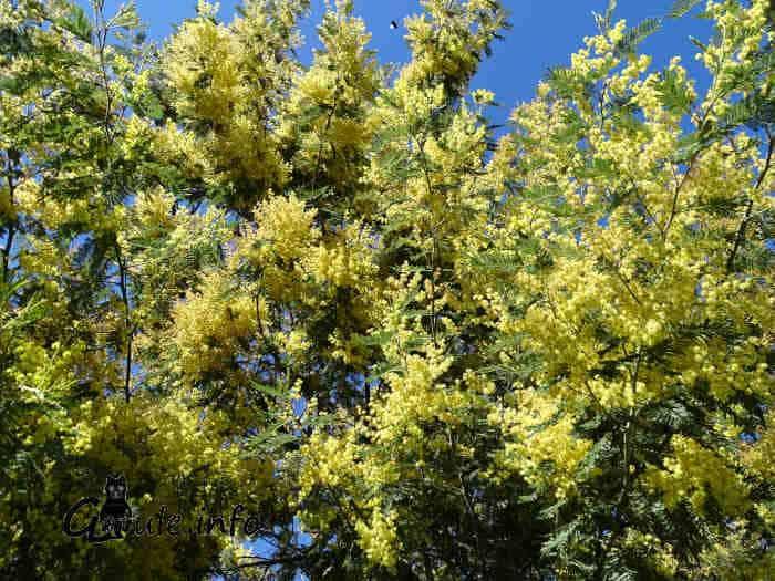 flores acacia dealbata