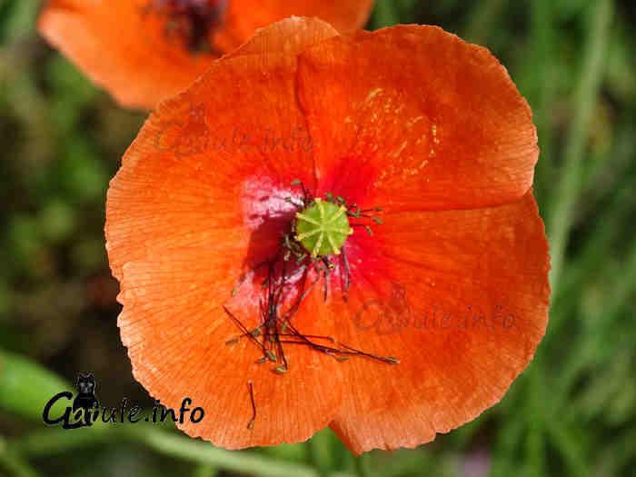 amapola flor roja