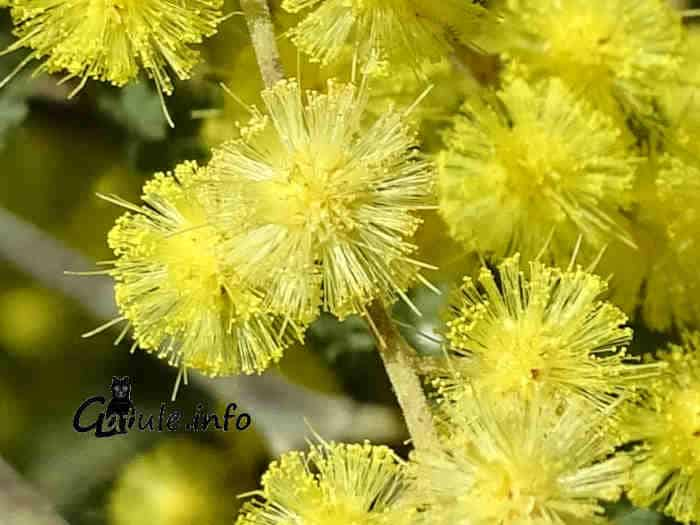 flor mimosa