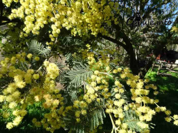 acacia dealbata en flor