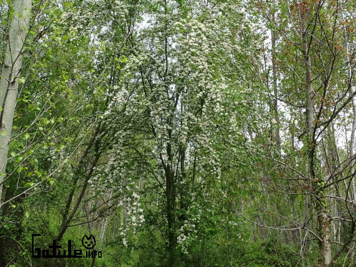 majuelo árbol