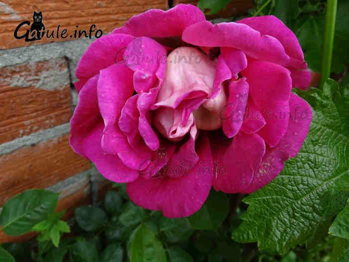 rosa planta