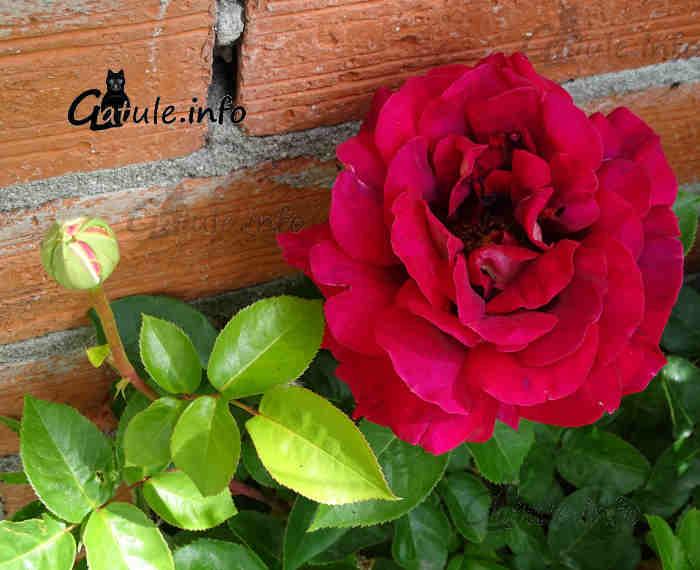 rosl rosas rojas