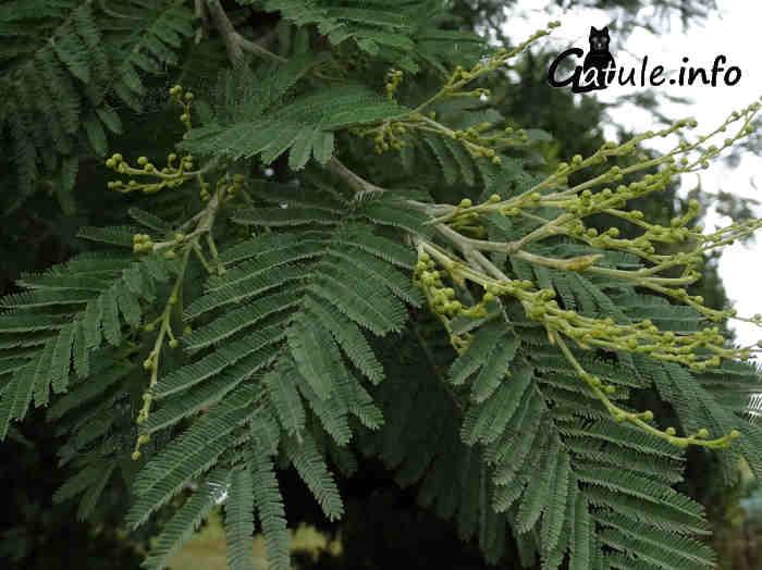 acacia preflor