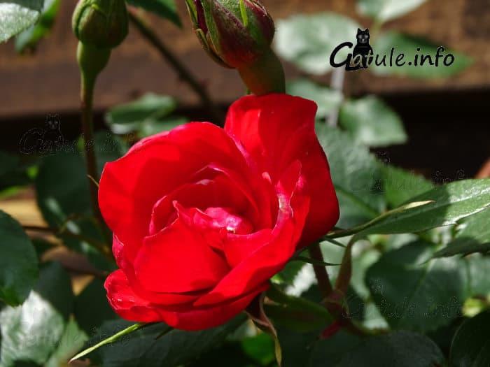 capullos y rosas rojas