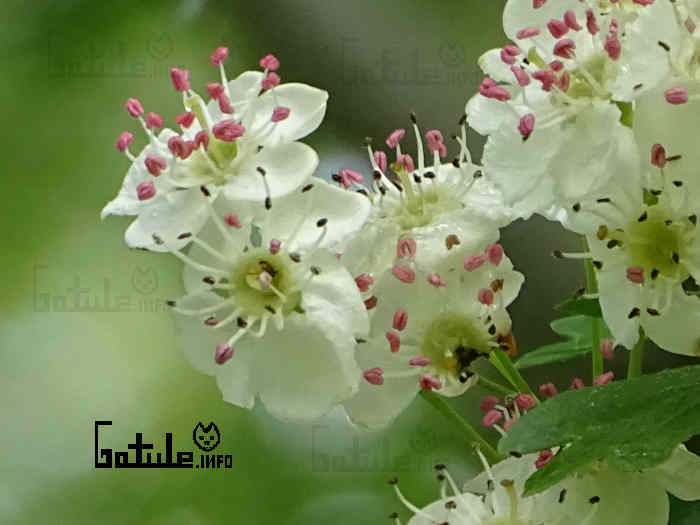 crataegus monogyna flores