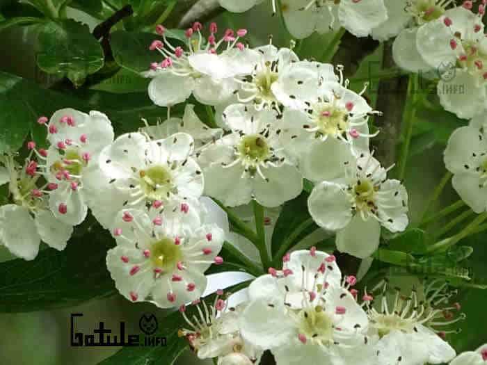 majuelo propiedades flores