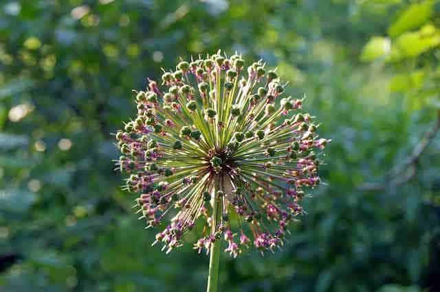 flor allium sativum