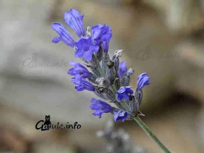 lavanda flor