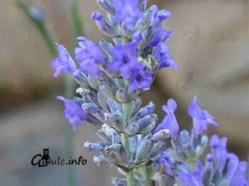 flores vavandula officinalis
