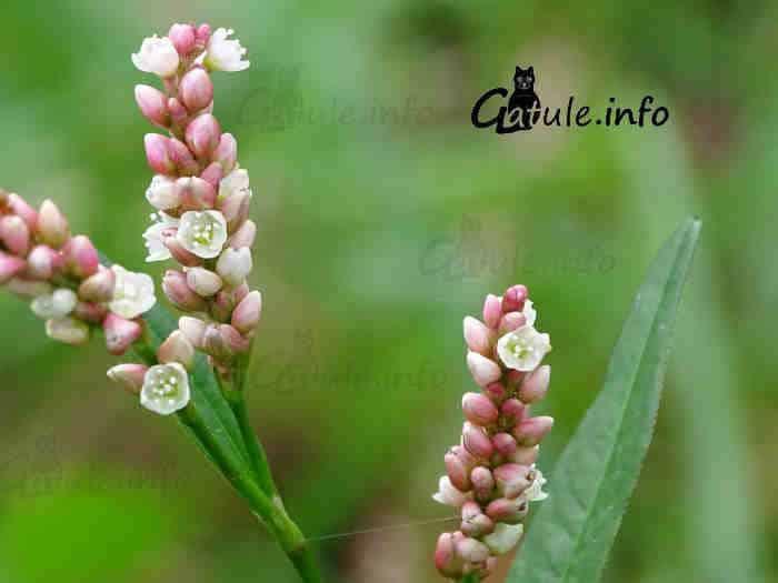 flores Polygonum persicaria