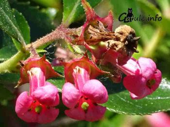 escalonia flor