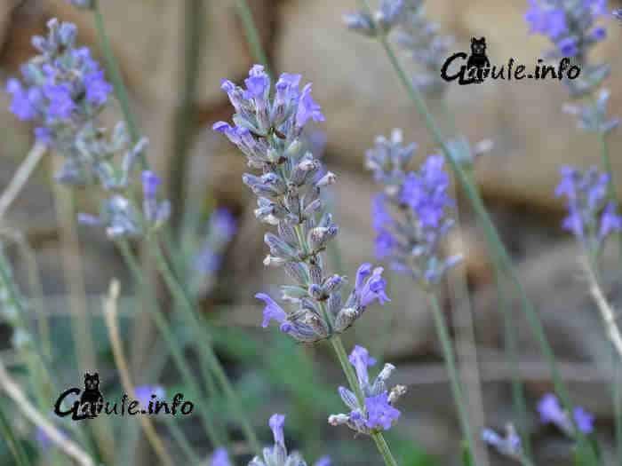 cultivo lavandula officinalis