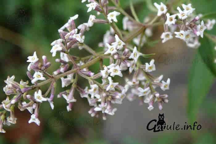 propiedades flores hierba luisa