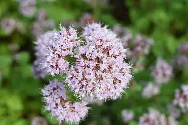 flores origanum vulgare