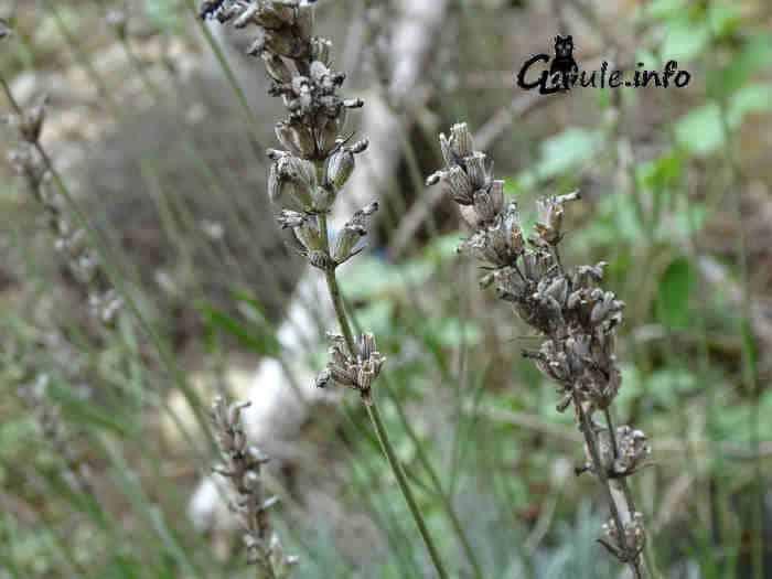 lavandula officinalis seca