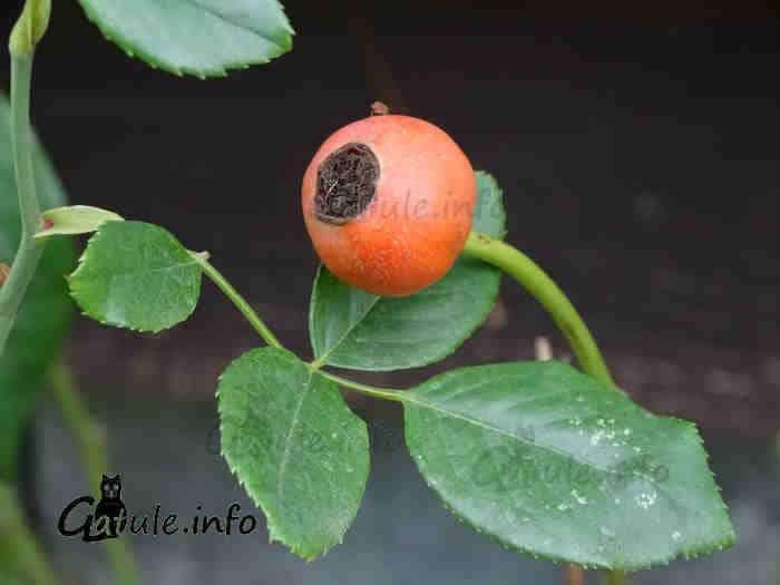 fruto rosal