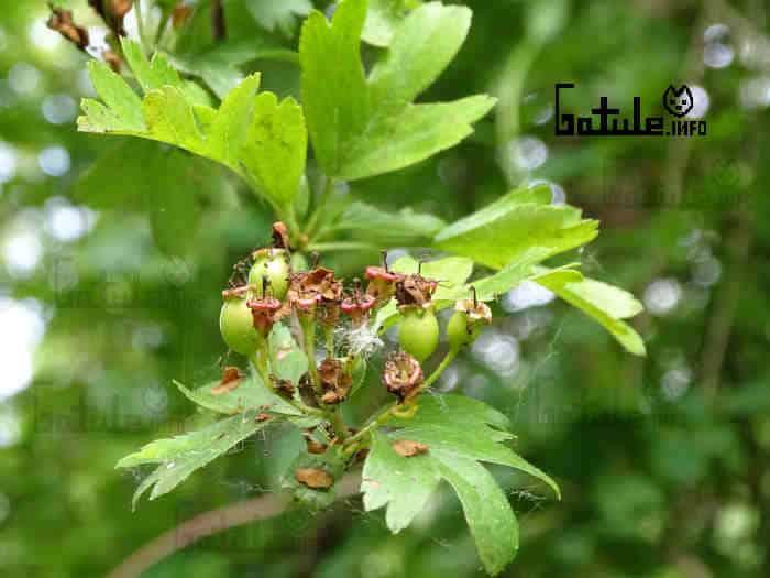 frutos espino blanco