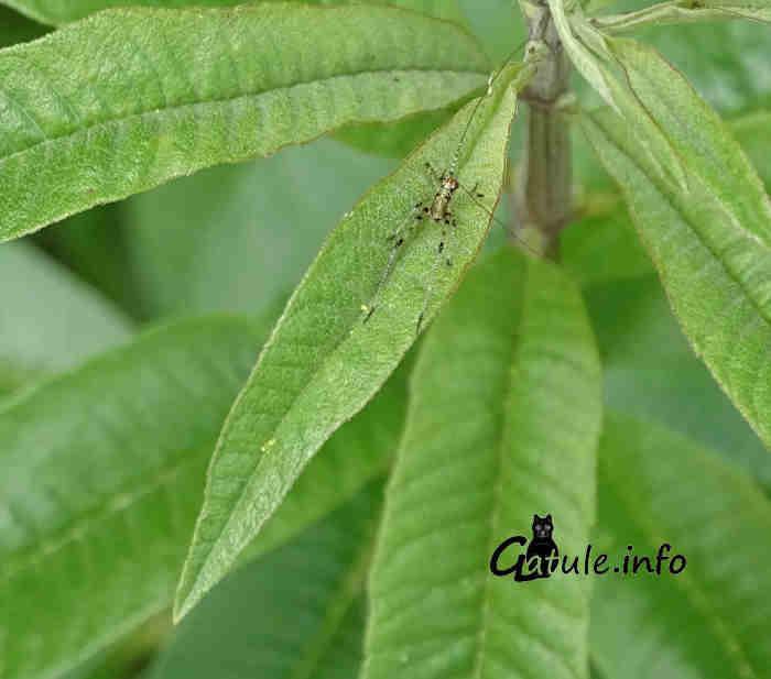 hojas hierba luisa o aloysia citrodora