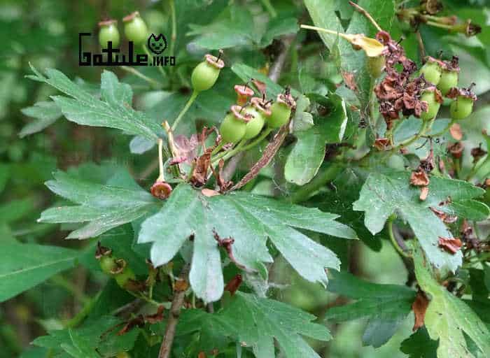 crataegus monogyna fruto