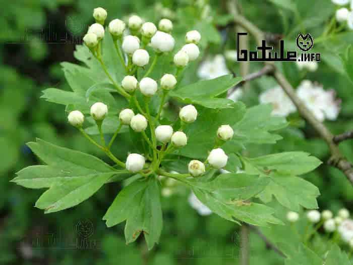 crataegus monogyna hojas
