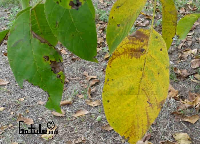 hojas juglans regia