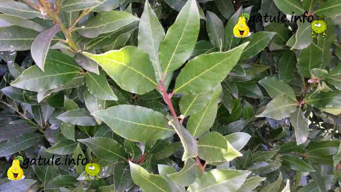 rama laurus nobilis