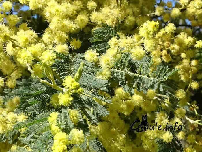 mimosa árbol en flor