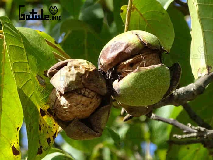juglans regia frutos