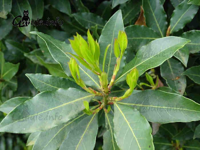 hojas laurus nobilis