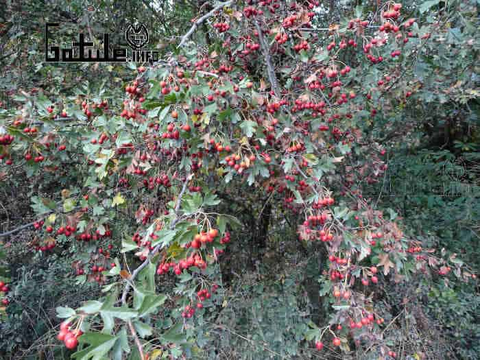 árbol el crataegus monogyna o majuelo