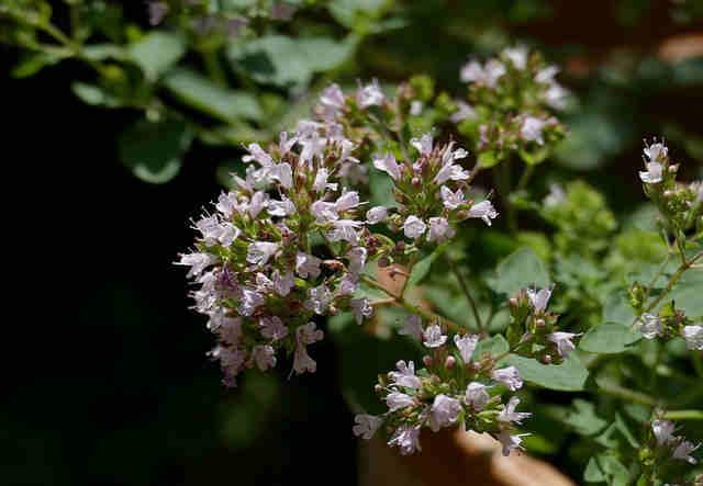orégano planta aromática