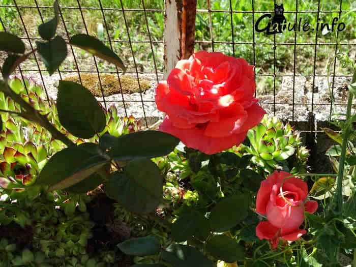 imagen rosal rosa