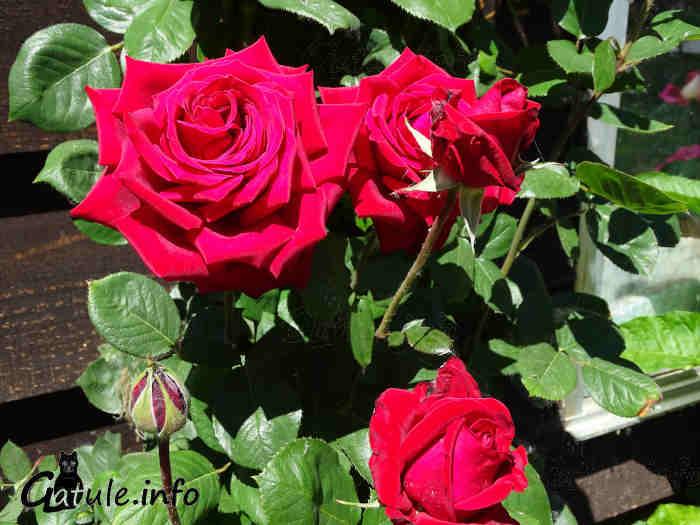 rosal rosas rojas