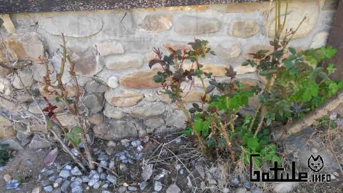 rosales podados