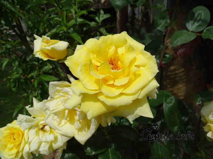 rosal rosa amarilla