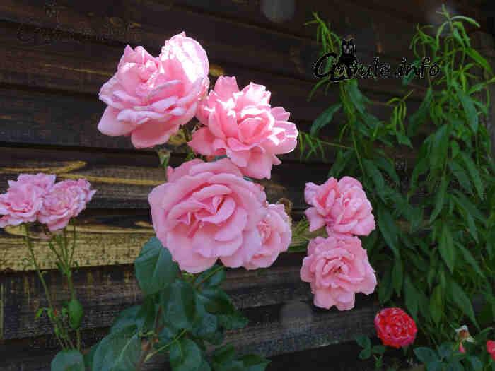flores rosas rosal