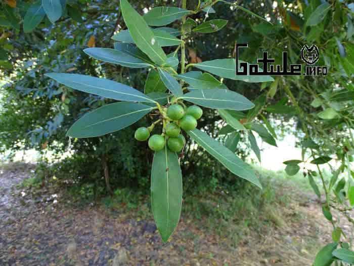 frutos del laurus nobilis