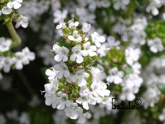 flores planta thymus
