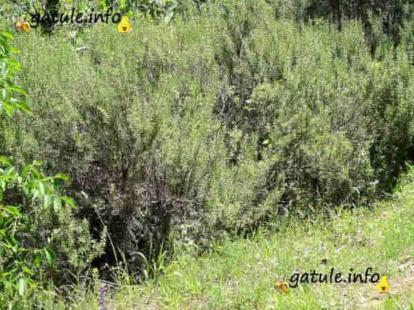 beneficios rosmarinus officinalis