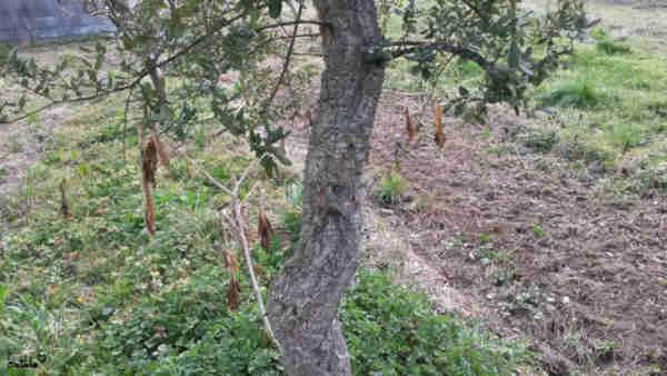 corcho quercus suber
