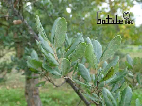 hoja árbol alcornoque