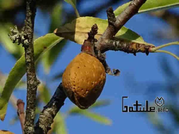 almendra en el árbol