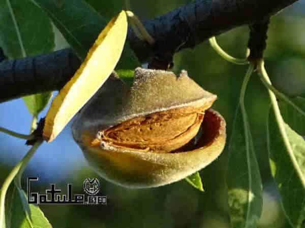 fruto prunus dulcis