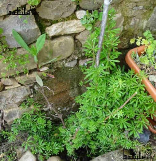 la planta amor del hortelano