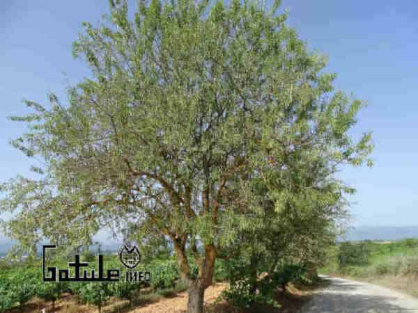propiedades árbol almendro