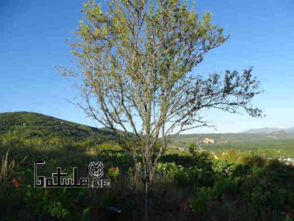 árbol prunus dulcis