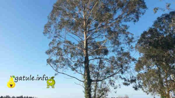 eucalipto propiedades